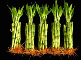 50 Stalks Of 6 Inch Straight Lucky Bamboo For Feng Shui Or Gifts (FREE S... - $629,12 MXN