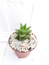 "two- aloe zanzibarica -with stone - Easy to grow/Hard to Kill! - 3"" Pots (Free S - $18.00"