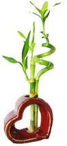 Set of 2 Live Spiral 3 Style Lucky Bamboo Plant Arrangement with Heart S... - £26.43 GBP