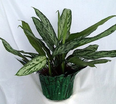 "Silver Queen Plant - Aglaonema - 6"" Pot/Decorative Pot Cover  (FREE SHIP... - $26.99"