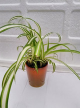 "Ocean Spider Plant - 4"" Ceramic Pot for Better Growth  (FREE SHIPPING) - £16.32 GBP"