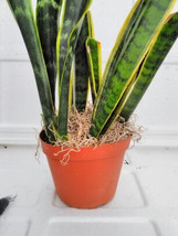 "Snake Plant,with moss- Mother-In-Law's Tongue - Sanseveria -6"" Pot  (FRE... - £20.99 GBP"