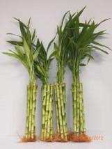 "40 Stalks of 12"" Straight Bamboo (FREE SHIPPING) - £36.55 GBP"