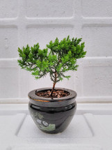 Juniper Tree Bonsai panda Best Gift  (FREE SHIPPING) - $22.99