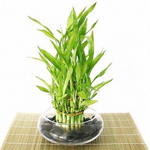 Lucky Bamboo - Tiered - Arrangement Arrives with Rocks, Vase (FREE SHIPP... - £27.22 GBP