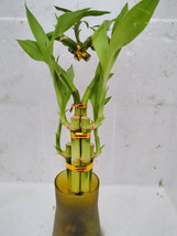 Live Heart Shape 6 Style Lucky Bamboo Plant Arrangement w/ Tall Glass Va... - £20.21 GBP