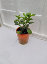 "Jade Plant - Crassula Ovuta - Easy to Grow - 4"" Ceramic Pot (FREE SHIPPING) - £15.55 GBP"