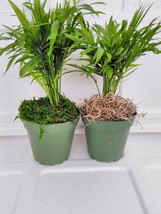 "Two Large-Victorian Parlor Palm - Chamaedorea with moss 4"" Pot (FREE SHI... - £17.88 GBP"