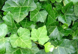 """Thorndale English Ivy 48 Plants - Hardy Groundcover - 2 1/4"""" Pot (FREE SHIPPING) - ₨3,371.83 INR"""