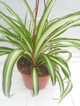 """Ocean Spider Plant Easy to Grow Cleans the Air NEW 6"""" Hanging Basket (FREE SHIPP - ₨1,375.84 INR"""
