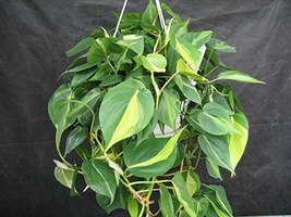 Brazil Philodendron 6 Pot (Free Shipping) - $22.00