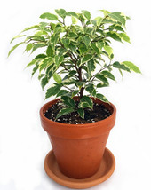 "Gardens Starlight Weeping Fig - Ficus - 4"" Clay Pot  (FREE SHIPPING) - $19.99"