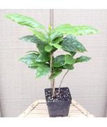 "Arabica Coffee Bean Plant - 3.5"" pot - Grow & Brew Your Own Coffee Beans... - ₨1,051.94 INR"