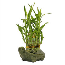 Two Tiered Lucky Bamboo Arrangement Turtle Family Favor (FREE SHIPPING) - $21.00