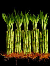 50 Stalks Of 6 Inch Straight Lucky Bamboo  (FREE SHIPPING) - $571,91 MXN