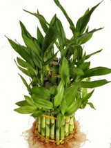 """3 Tier 4"""" 6"""" 8"""" Top Quality Lucky Bamboo For Feng Shui (Total About 38 S... - $343,07 MXN"""