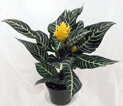 "Zebra Plant - Aphelandra - Exotic & Unusual House Plant - 5"" Pot  (FREE ... - $400,28 MXN"