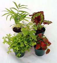 "Terrarium & Fairy Garden Plants - 5 Plants in 2"" pots (FREE SHIPPING) - $440,13 MXN"