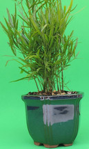 """Asparagus Fern Falcatus comes with a 4"""" Glazed Ceramic Pot (FREE SHIPPING) - $352,41 MXN"""