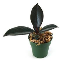 Ficus elastica 'Burgandy' - Burgandy Tree 4'' pot (FREE SHIPPING) - $362,14 MXN