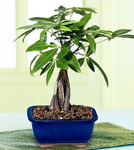 Medium braided money tree  (FREE SHIPPING) - $553,03 MXN