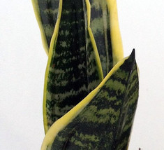 "Superba Robusta Snake Plant - Sanseveria - Impossible to kill! - 4"" Pot ... - $16.99"