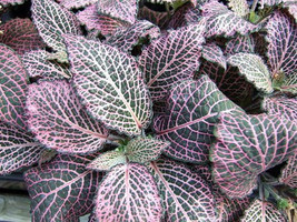 "Red Veined Nerve Plant - Fittonia - Easy House Plant - 6"" Pot  (FREE SHI... - $20.00"