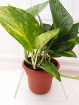 "Golden Devil's Ivy - Pothos - Epipremnum - 4.5"" Unique Design Pot - Very Easy to - $14.95"