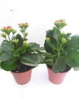 Two Rosebud Red Kalanchoe Calandivia 4 Inch Pot From Jmbamboo - $19.62