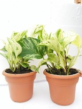 "Two Marble Queen' Devil's Ivy Pothos 4.5"" Unique Design Pot - Easy to Grow - $18.69"
