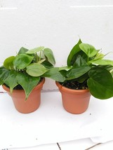 "Two Heart Leaf Philodendron 4.5"" Unique Design Pot From Jm Bamboo - $18.69"