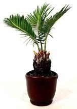 "Sago Palm - 4.5"" Ceramic Pot - unique from jmbamboo - $343,07 MXN"