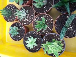 "Haworthia Collection 5 Plants - Easy to Grow/hard to Kill - 3"" Pot - $28.04"