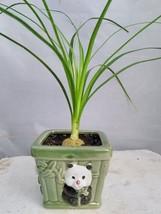 Guatemalan Red Ponytail Palm - Beaucarnea - With Panda Vase - Easy to Grow - $356,61 MXN