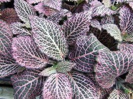 "Pink Veined Nerve Plant - Fittonia - Easy House Plant - 4"" Pot - ₹1,066.04 INR"