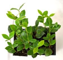 Jasmine Plant- 6 Pack 3'' Pot - $393,64 MXN