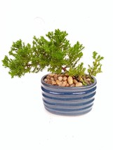 Two Japanese Juniper Bonsai Starter Tree - 4'' Blue Vase - Juniper - $28.04