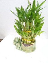 Live 3 Layer Cake Lucky Bamboo Plant W/happy Frog & Handmade Ceramic Pot... - £18.03 GBP