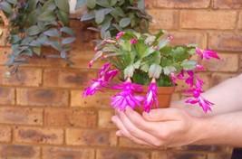 "Pink Christmas Cactus Plant - Zygocactus - 6"" Pot - $20.99"