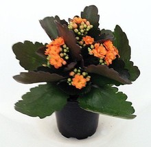 "'Christmas Rosebud Orange Kalanchoe' - Calandivia - 4"" Pot - $14.99"