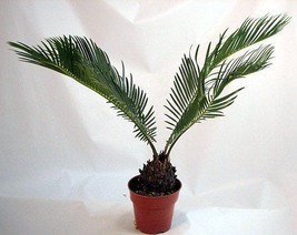 "Japanese Sago Palm - GREAT GIFT EASY TO GROW - 4"" pot unique from Jmbamboo - £11.25 GBP"