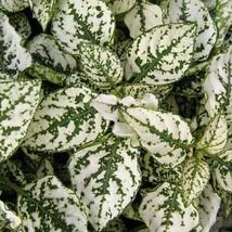 Fairy Garden Hypoestes Phyllostachya, Confetti White, Polka Dot Plant - $229,08 MXN