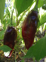 Guajillo Chile Pepper -a sweet,  tangy pepper for mole  - $4.50