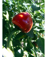 Cascabel pepper - the famous rattle pepper of South America - $4.50