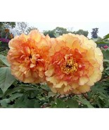 Ang jin cui golden red peony plant seeds professional pack 5 seeds pack light fragrant thumbtall