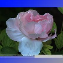 5 Rare Light Pink Monopetalous Peony 'Shui Xian Zi' Seeds, Professional ... - $3.95