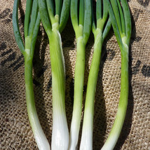 SHIP FROM US EVERGREEN WHITE BUNCHING NEBUKA ONION SEEDS ~8 Oz PACK SEED... - $153.96