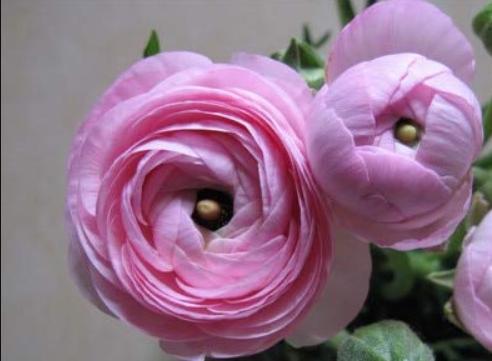 100pcs Graceful Ranunculus Flower De Flores Jardinagem (not Ranunculus Bulbs ) - $16.95