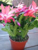 Plantschristmascactus_thumb200