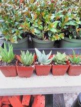 "Jmbamboo-4 Different Aloe Plants - Easy to Grow/hard to Kill! - 3"" Pots - ₨1,307.71 INR"
